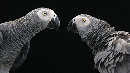 Os papagaios-cinzentos africanos estão entre as aves mais socialmente complexas e são animais de estimação populares ...