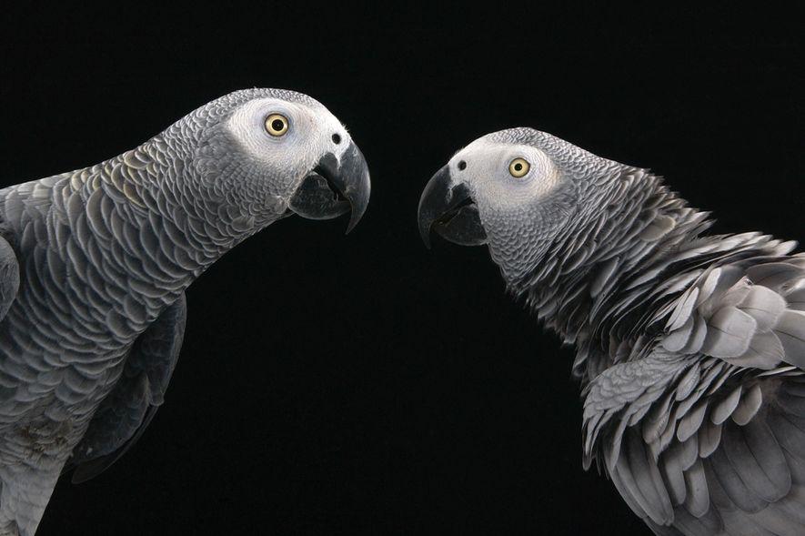 Papagaios ajudam uns aos outros em momentos de dificuldade