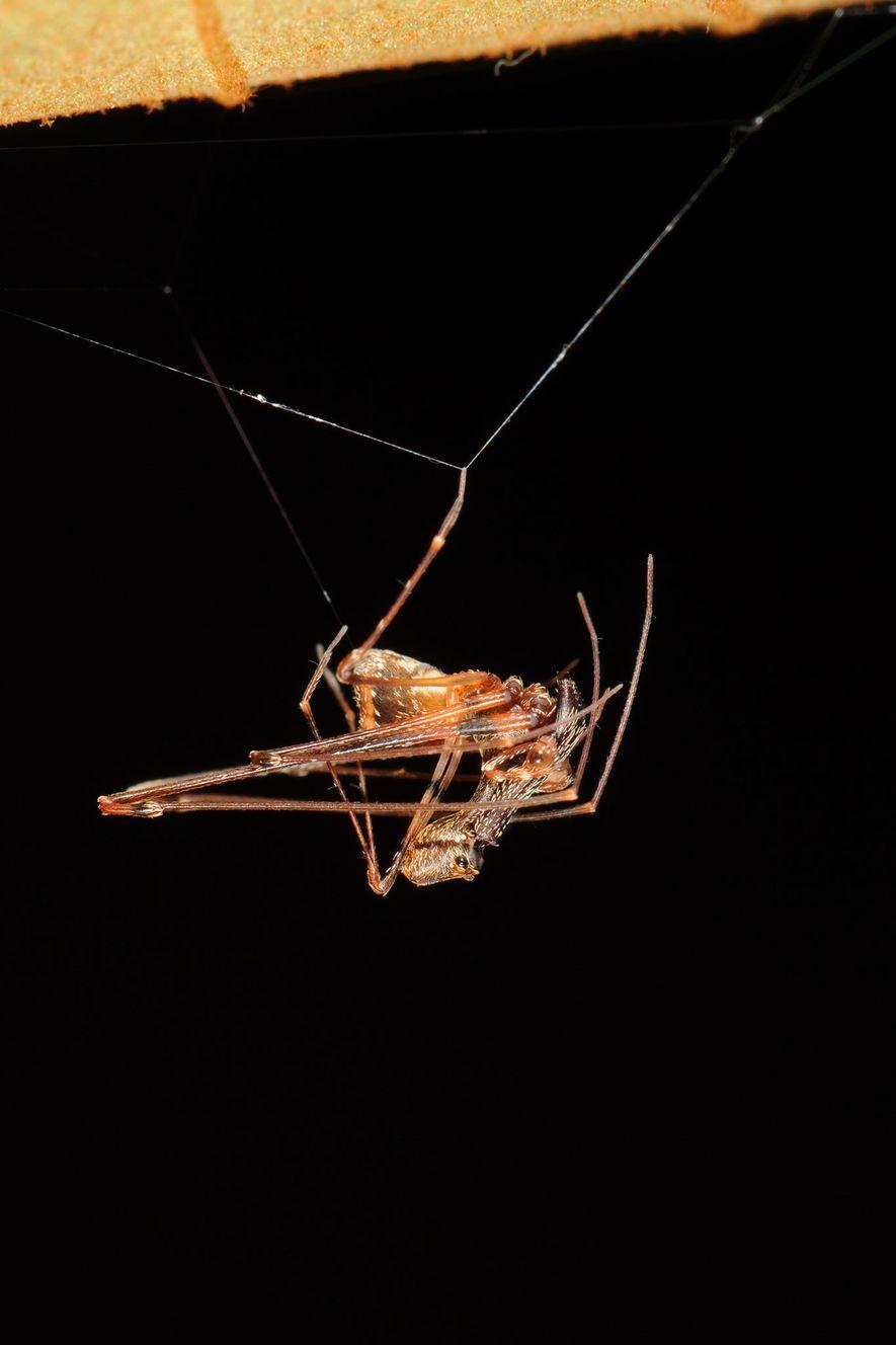 E. workmani macho em sua teia. Atualmente, as aranhas pelicano vivem na África do Sul, Austrália ...