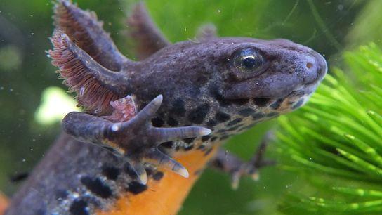 A pedomorfose permite que tritões-alpinos, como essa fêmea, mantenham as adaptações aquáticas e retardem a metamorfose ...