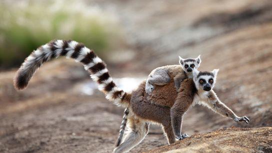 Os lêmures-de cauda-anelada machos soltam um odor que atrai as fêmeas (na imagem, uma mãe e ...