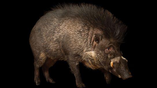 Existem apenas cerca de 300 porcos da espécie Sus cebifrons em cativeiro (na foto, um animal ...