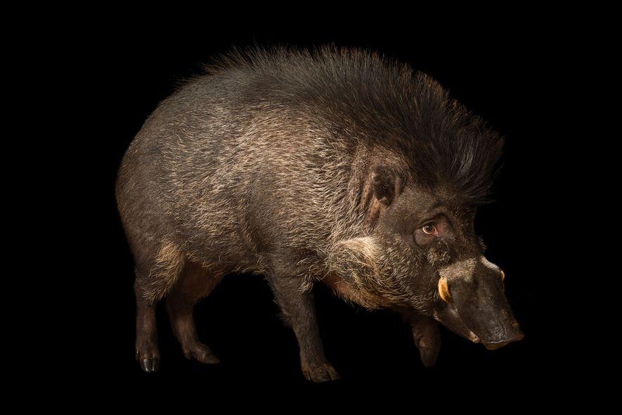 Porcos são vistos usando ferramentas pela primeira vez