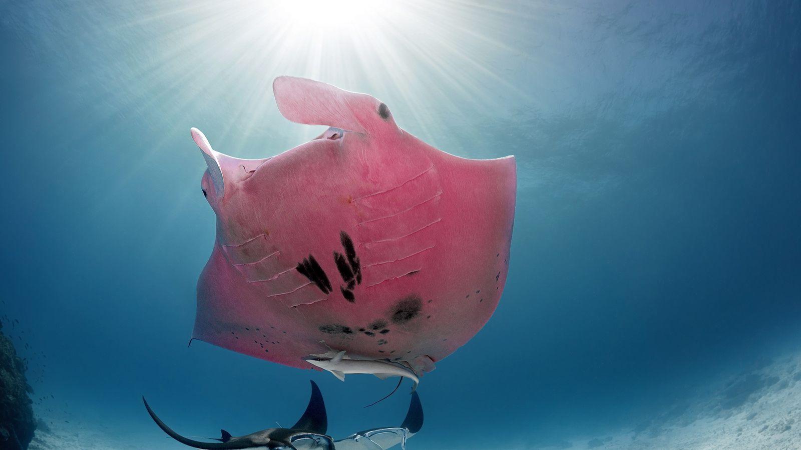 O fotógrafo ficou de queixo caído ao perceber que a arraia-jamanta, fotografada perto da ilha Lady ...