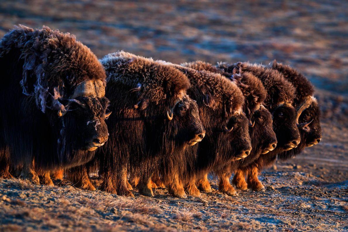 Os bois-almiscarados, fotografados na Ilha de Ellesmere em Nunavut, possuem pelagem grossa e felpuda que os ...