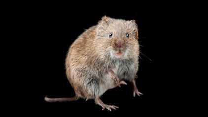 Beber sozinho leva ao divórcio – em roedores
