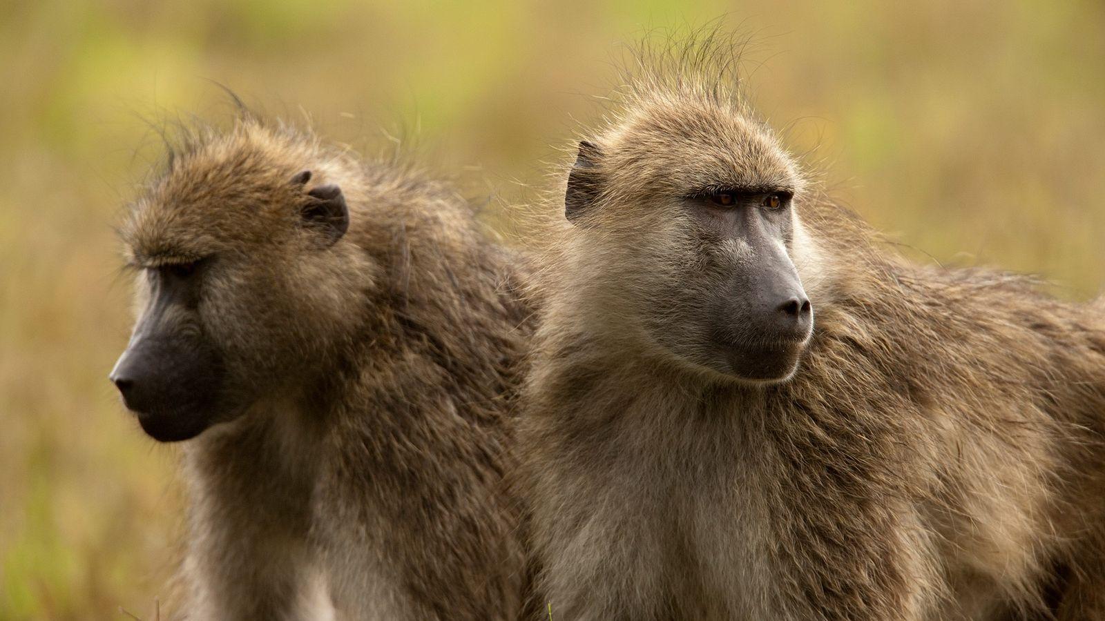Os babuínos-pretos-acinzentados são os mais populares de todos os troféus de caça de primatas africanos.