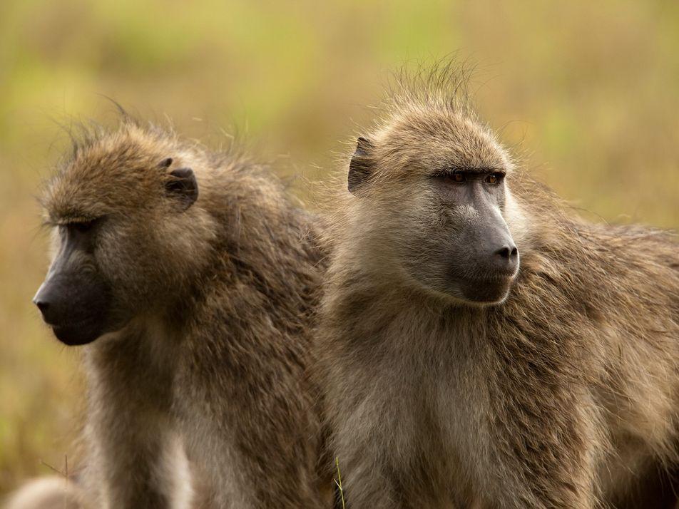 Caçadores norte-americanos matam mais de 800 macacos por ano