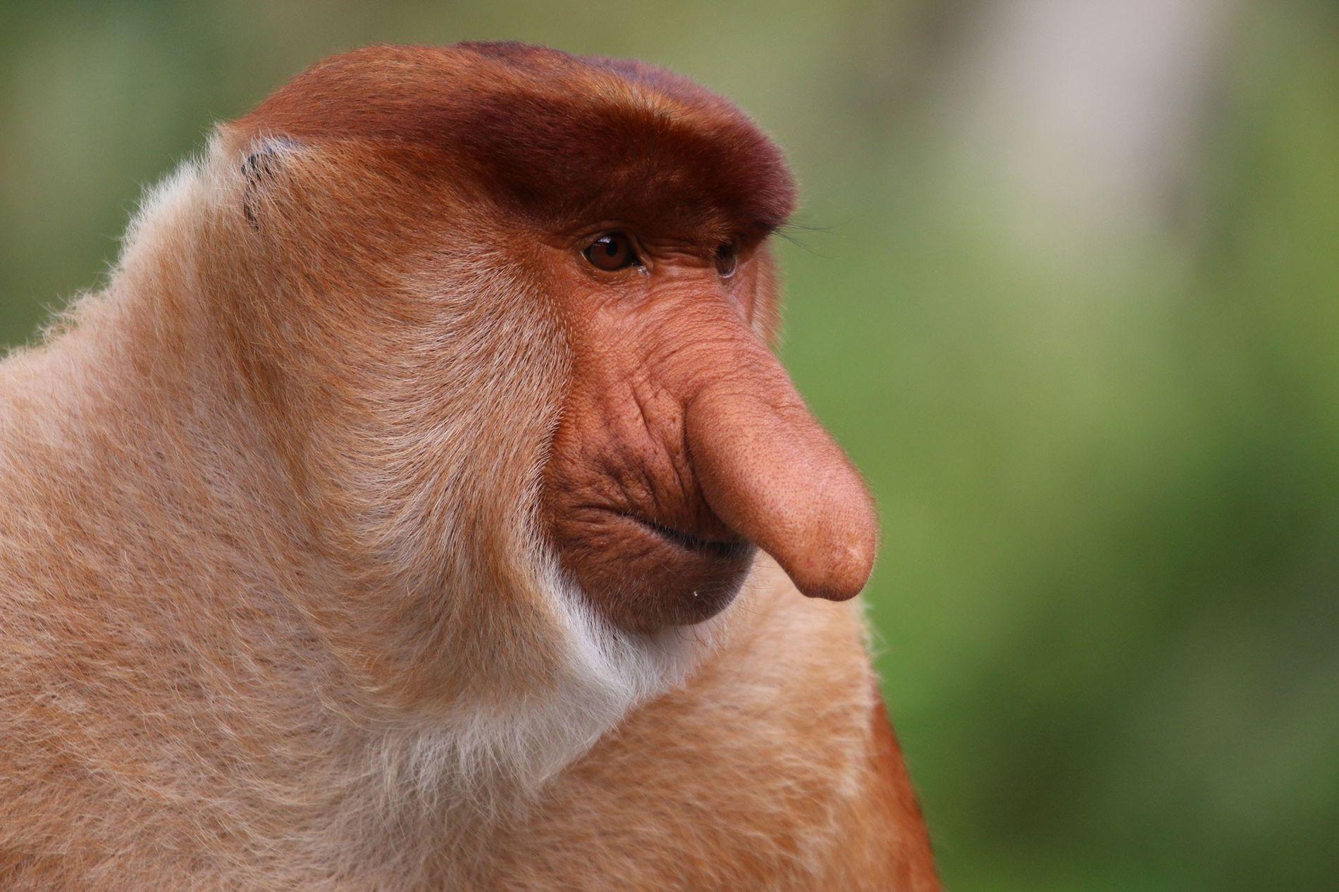Macacos-narigudos machos (Nasalis larvatus) tem narizes enormes – um aspecto importante para atrair fêmeas e definir ...