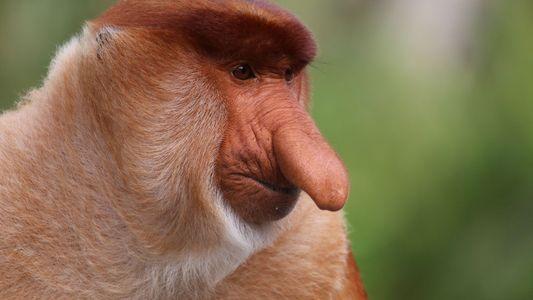 Para este macaco, um nariz maior significa uma vida sexual melhor