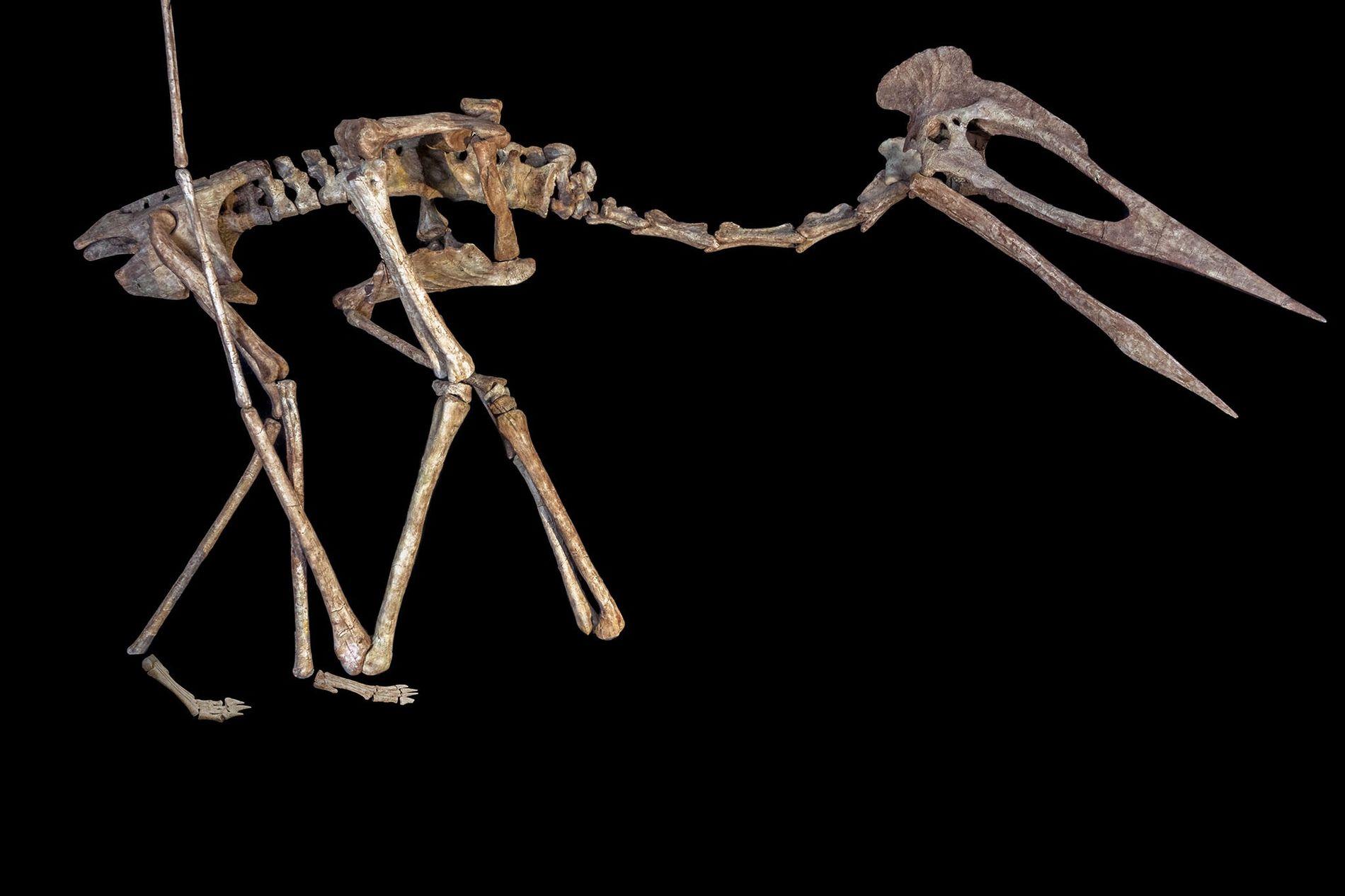 Reconstituição do esqueleto de um réptil voador conhecido como Drácula, um pterossauro Azhdarchidae gigante encontrado na ...