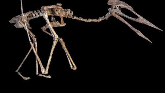 Predador voador primitivo e gigante encontrado na Transilvânia