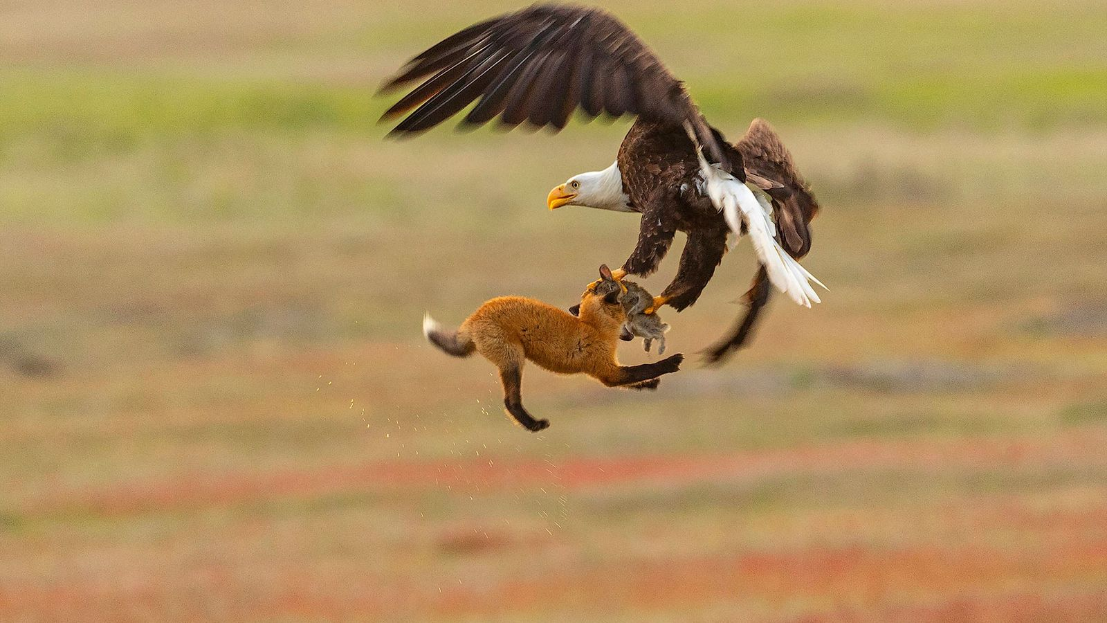 Fotógrafo achou que a águia fosse assustar a raposa e fazê-la derrubar sua refeição, mas ela ...