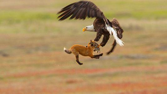 Águia-careca rouba jantar de raposa – e os três saem voando