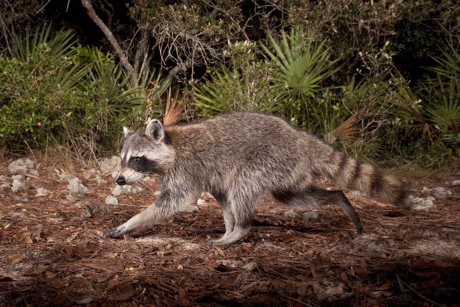 O esforço milionário dos EUA para combater a raiva proveniente dos guaxinins selvagens