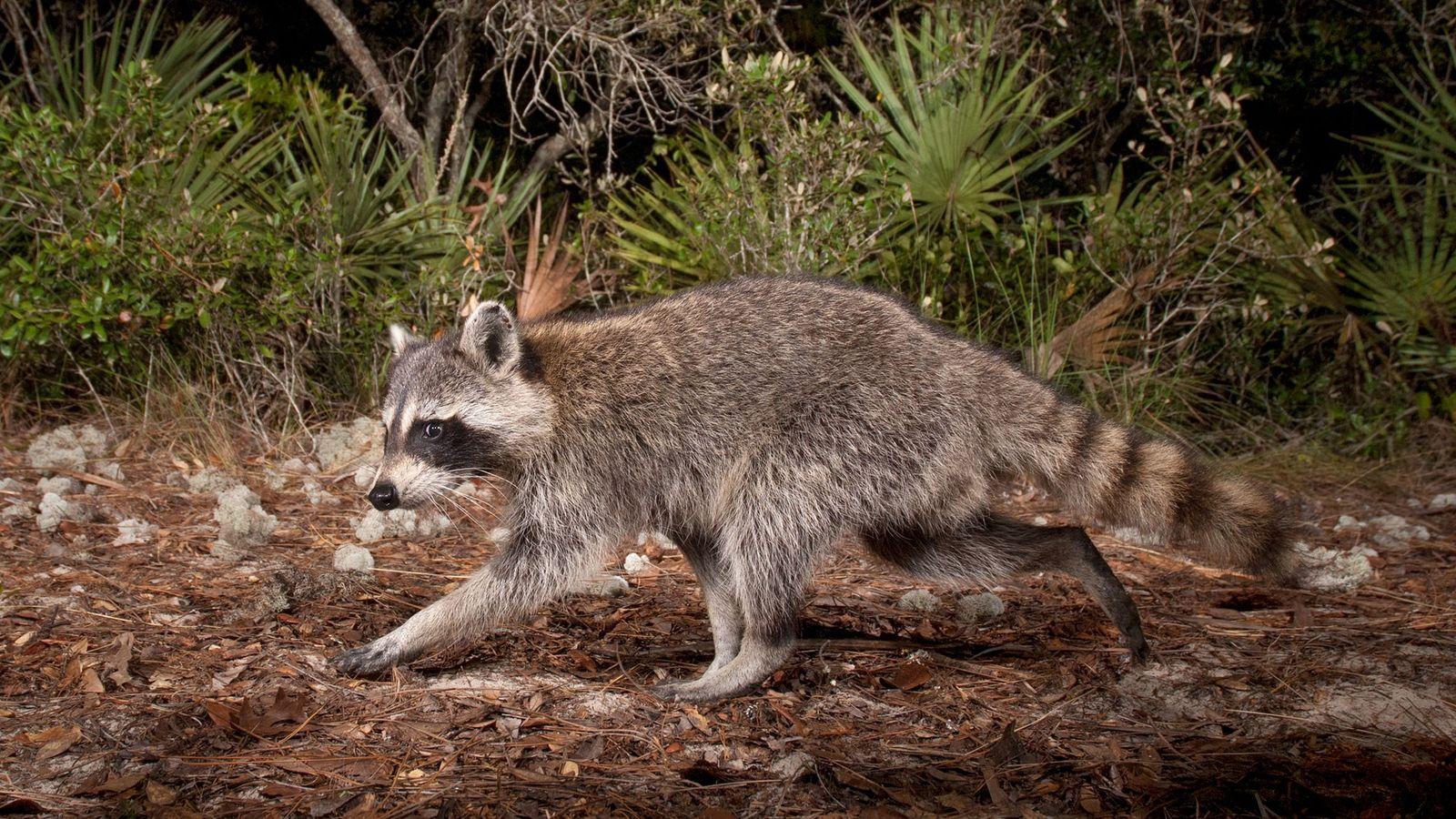 Guaxinins são mamíferos inteligentes e altamente adaptáveis que prosperam em ambientes humanos. Mas isso pode colocar ...
