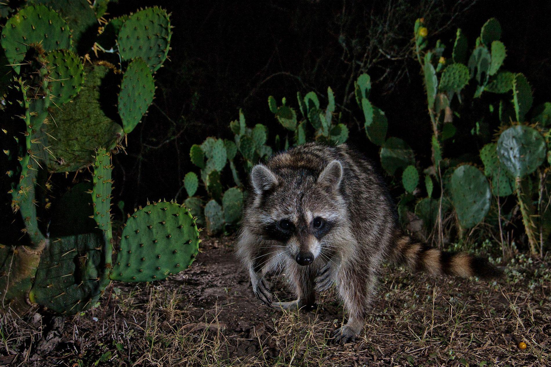 Os guaxinins podem sobreviver em diversos habitats, como ambientes com figueiras-da-índia-engelmann no Texas (vistas aqui), coníferas ...