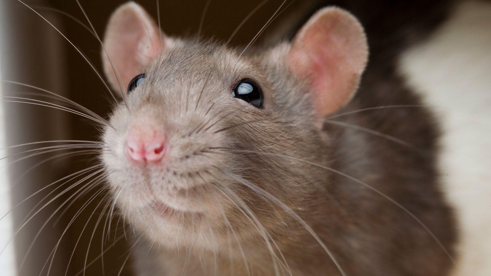 Ratos e humanos compartilham a mesma parte do cérebro que regula a aversão a danos físicos, ...