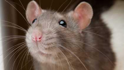 Ratos evitam ferir seus semelhantes, e descoberta pode ajudar a entender sociopatas