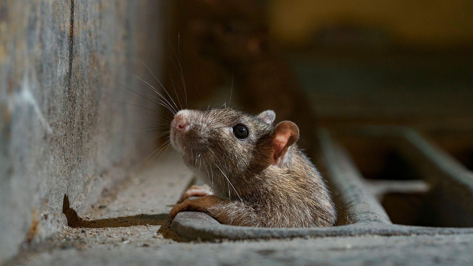 Um rato saindo de um bueiro na cidade de Nova York. Com mais cidades impondo o ...