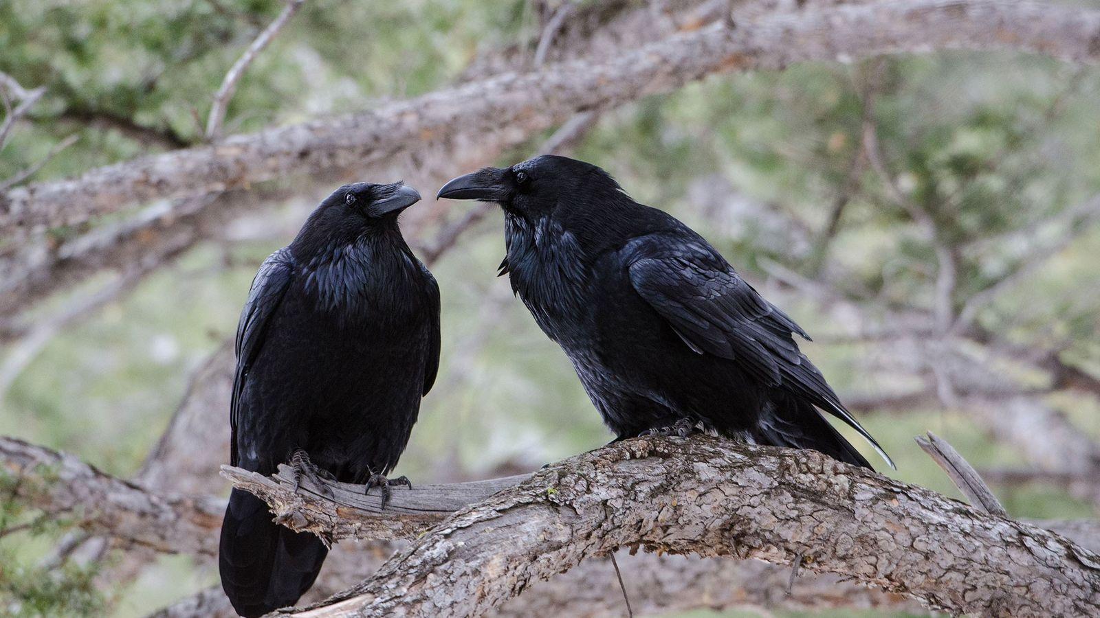 corvos-evolucao