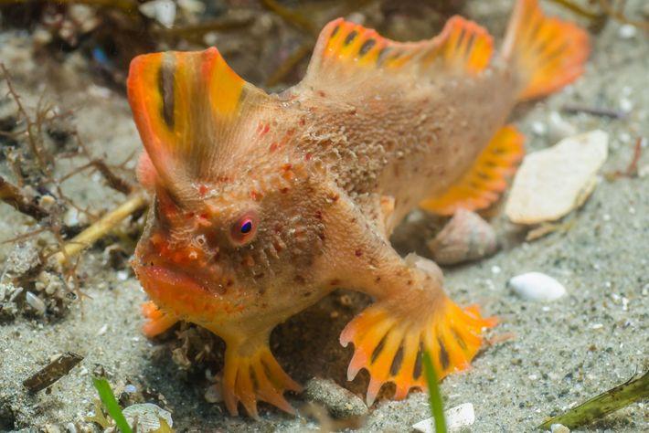 foto de peixe mão vermelho na austrália