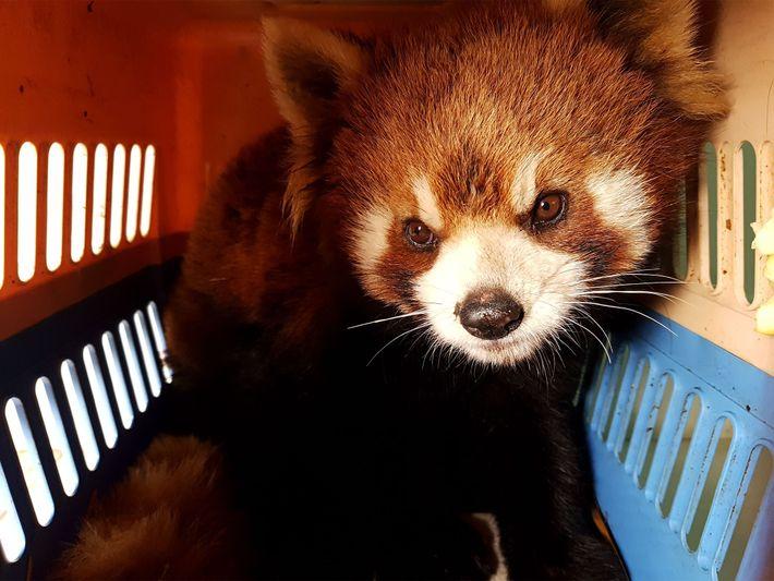 resgate-panda-vermelho