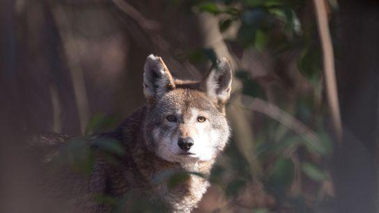 Restam apenas cerca de 35 lobos-vermelhos na natureza.