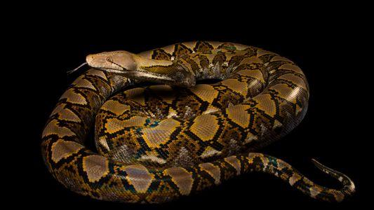 Cobra píton engole mulher inteira em ataque raro