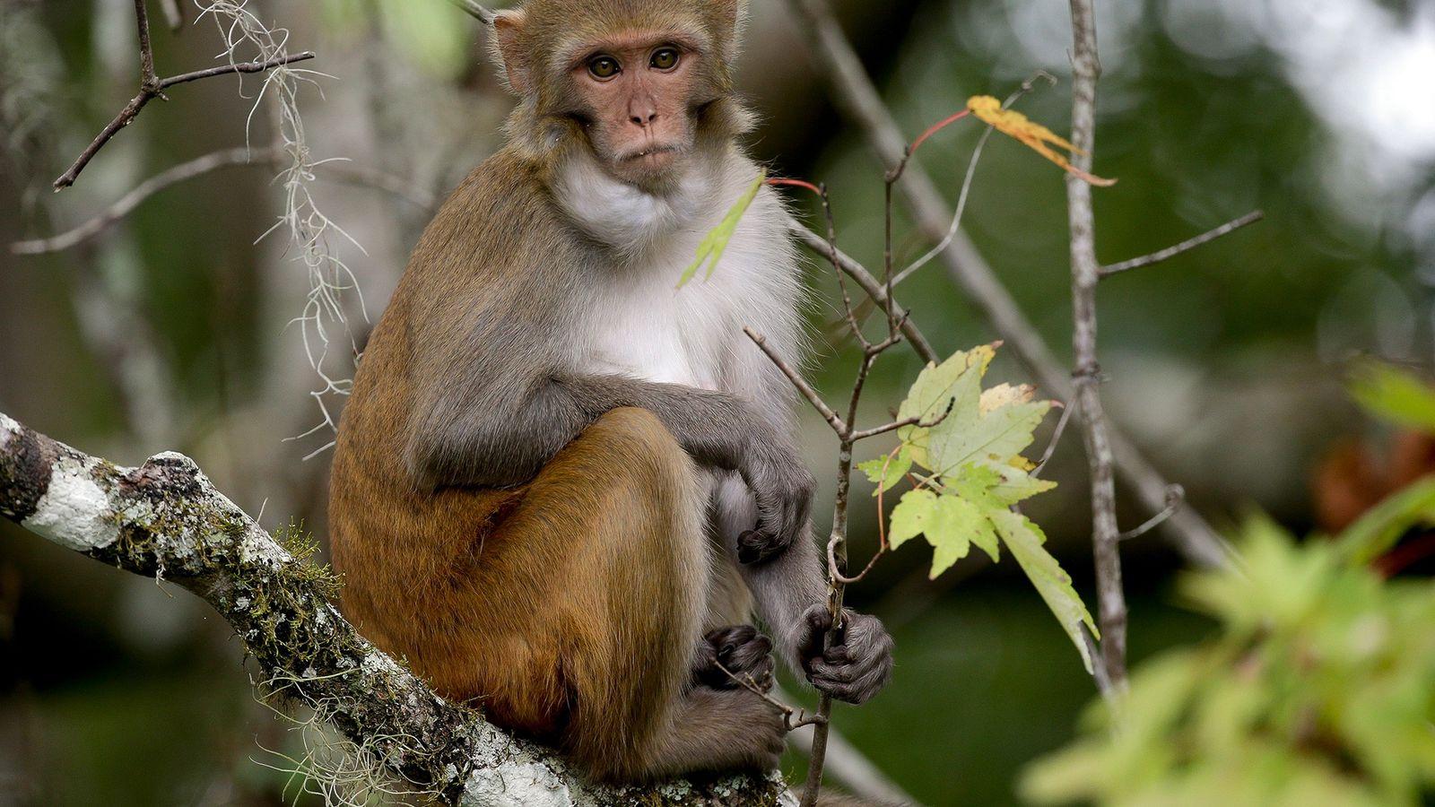Gestores da vida selvagem na Flórida dizem que querem remover os macacos errantes, como este no ...