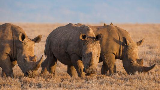 China legaliza chifres de rinocerontes e ossos de tigres para fins medicinais