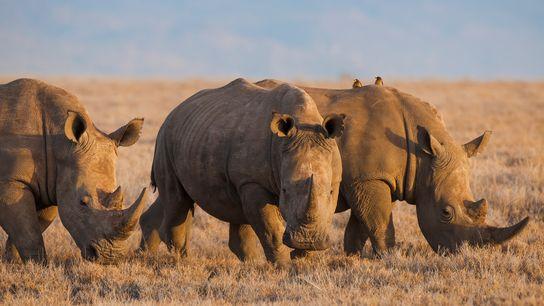 A utilização de chifres de rinocerontes e ossos de tigres na medicina tradicional chinesa ameaça esses ...