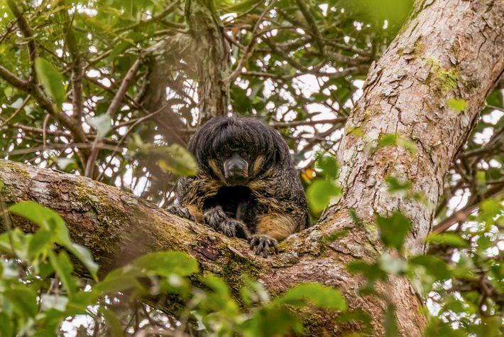 macaco-parauacu-de-vanzolini