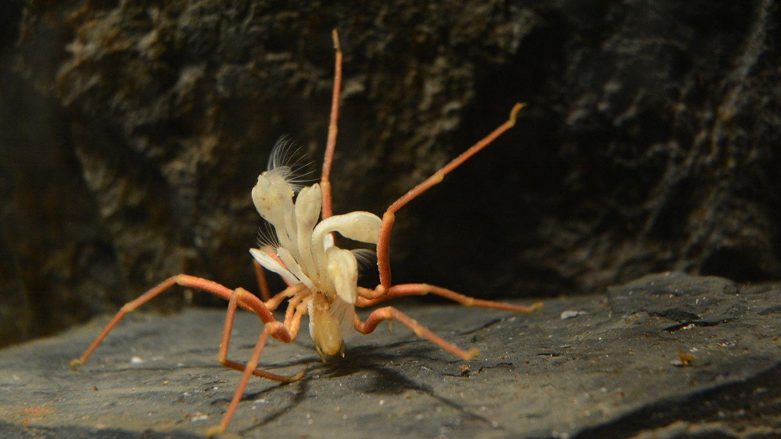 Uma aranha-do-mar antártica (Ammothea glacialis) com cerca de 15 cm de comprimento luta sob o peso ...