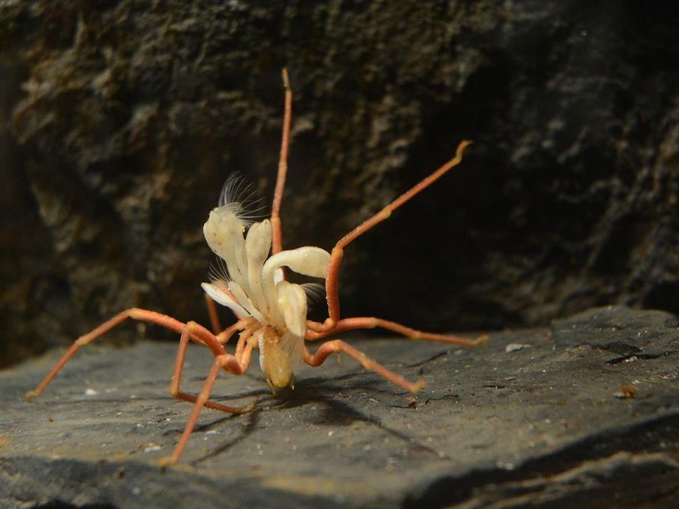 """""""Caroneiros"""" dificultam a vida das aranhas-do-mar na Antártica"""