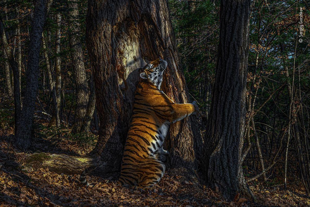 Esta rara fotografia de um tigre-siberiano abraçando uma árvore no extremo oriente da Rússia, rendeu ao ...