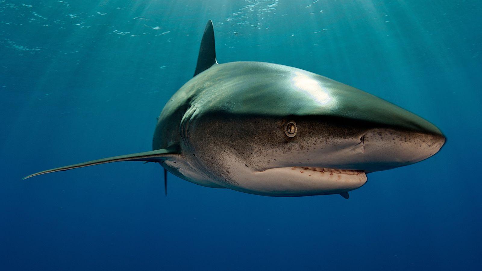 Tubarão-galha-branca-oceânico (não é o animal envolvido no confronto) nada nas Bahamas. Os tubarões-galha-branca-oceânicos geralmente caçam na ...