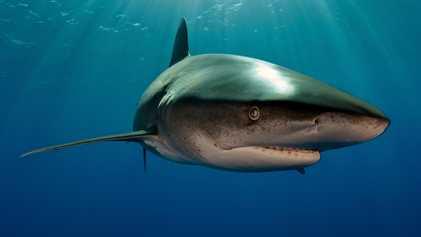 Este tubarão foi atacado por uma lula das profundezas – revela imagem inédita