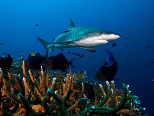 Tubarões em grave declínio em recifes de todo o mundo