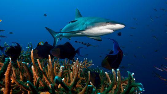 O tubarão-cinzento-dos-recifes, observado na imagem na Baía de Kimbe, em Papua Nova Guiné, é uma das ...
