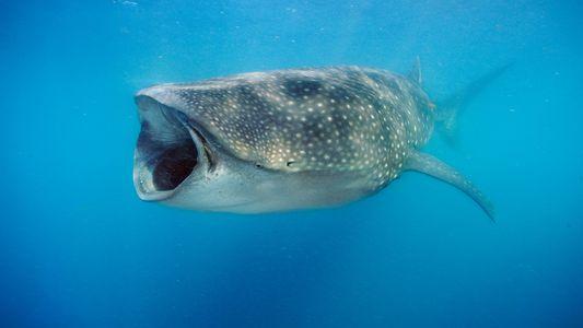 As descobertas mais fascinantes da década passada sobre os tubarões