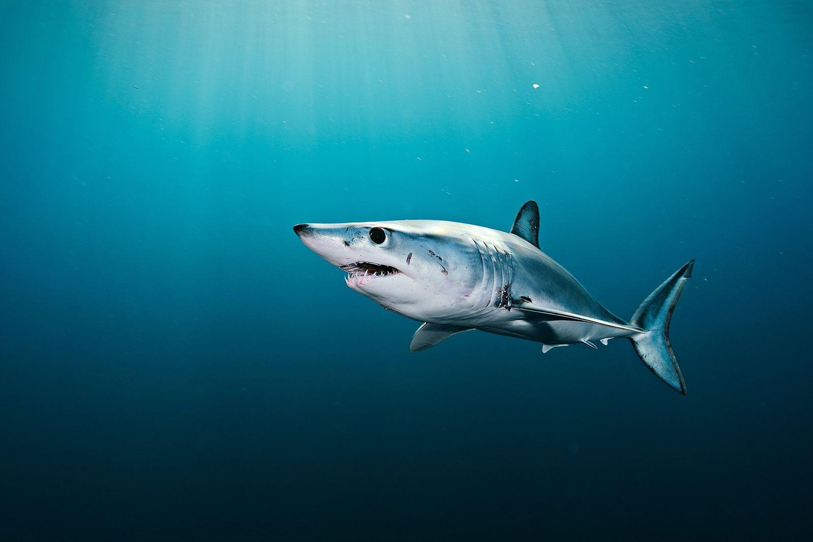 Barbatana de tubarão é banida em estados americanos — mas iguaria ainda está nos cardápios