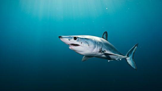 O tubarão-mako, considerado vulnerável após redução de sua população, é uma das espécies encontradas nas amostras ...