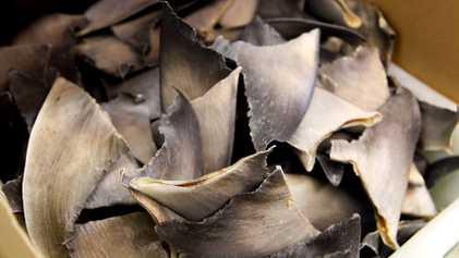 De forma não intencional, EUA estão facilitando o contrabando de barbatanas de tubarão