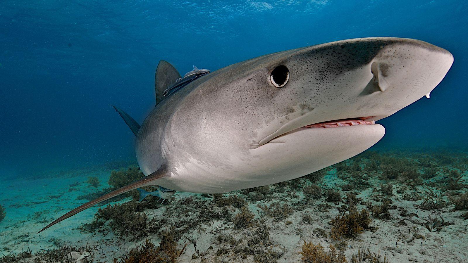 Um tubarão-tigre nada perto das Bahamas. Os predadores são carniceiros perfeitos, com visão e olfato excelentes.