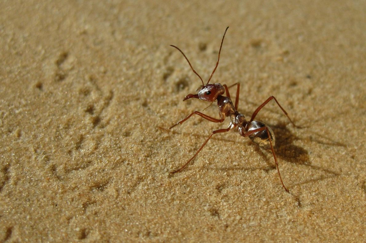 Formigas mais rápidas do mundo atravessam o Saara a velocidades impressionantes