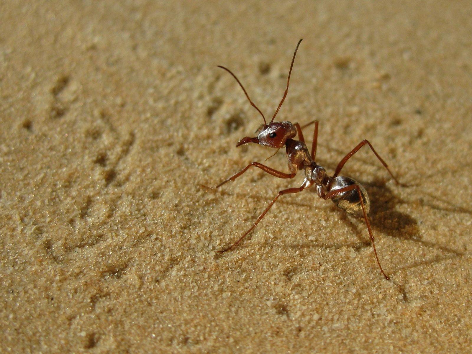 Uma formiga-prateada-do-saara atravessa as areias quentes da Tunísia.
