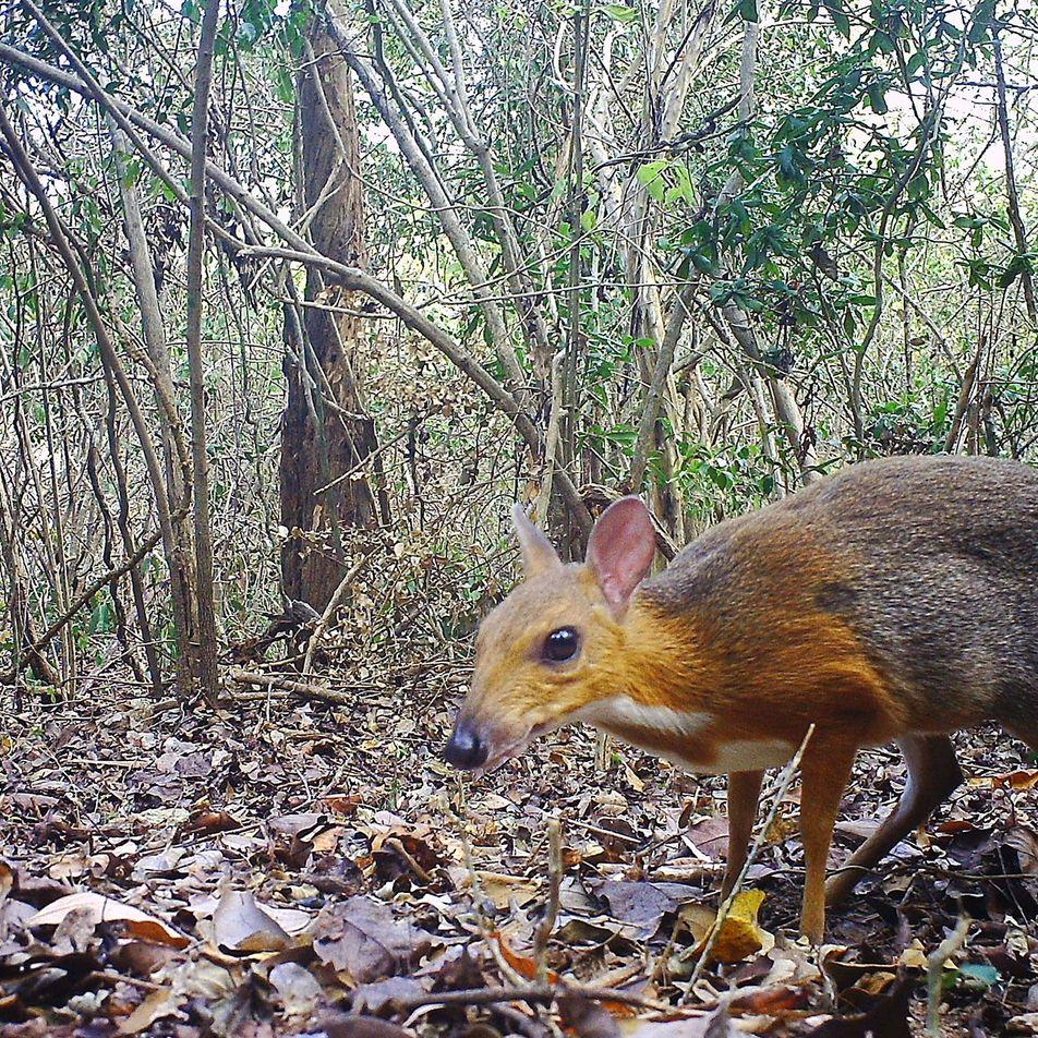 Raríssimo cervo-rato avistado após desaparecer por uma geração