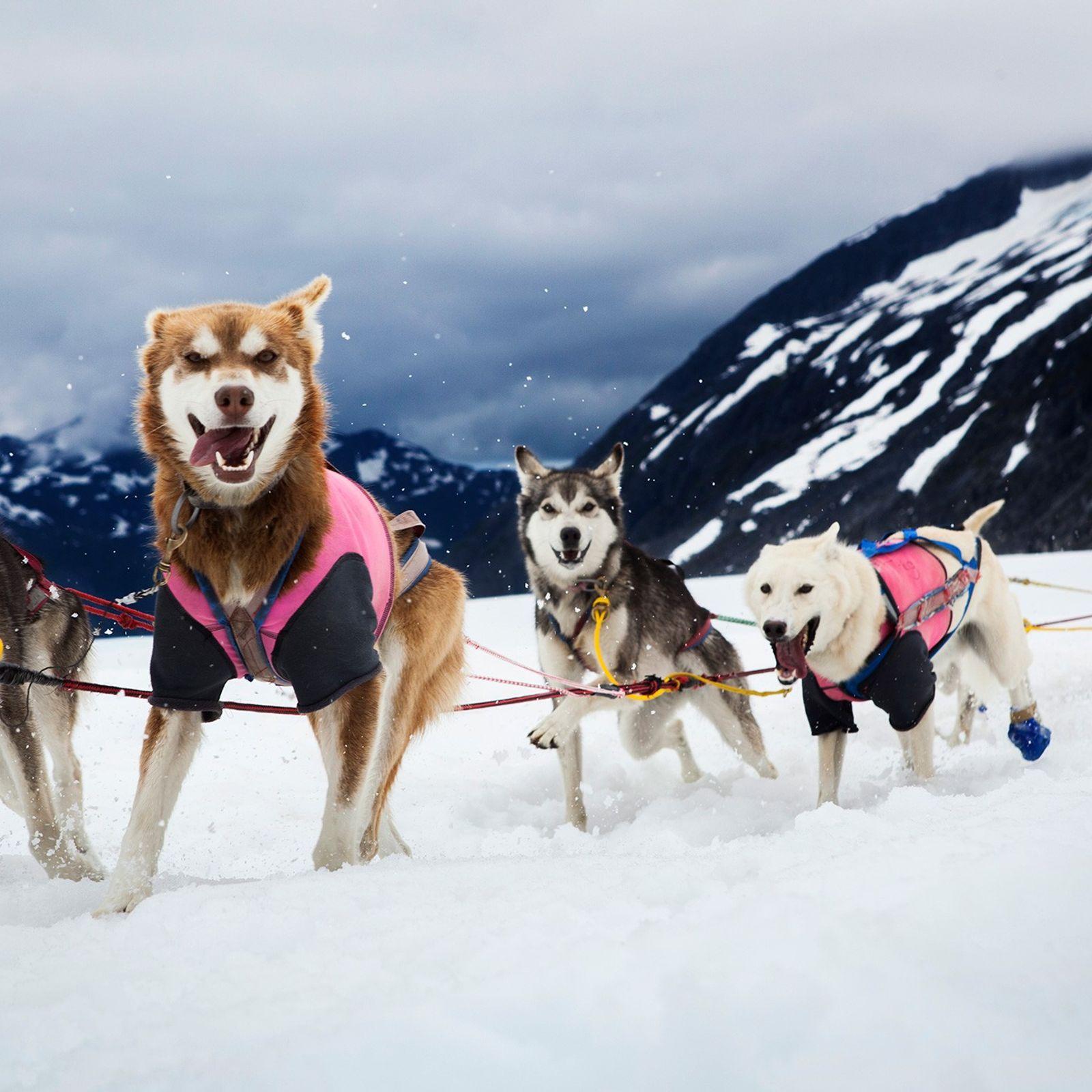 Uma equipe de cães de trenó corre na geleira Herbert, próximo de Juneau, no Alasca, Estados ...