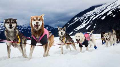 Humanos e cães andam juntos de trenó há quase 10 mil anos